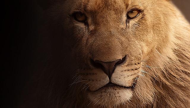 lion-617365_640